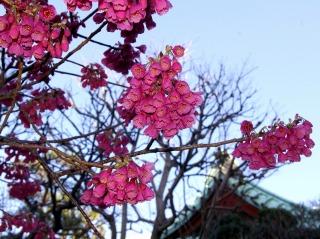 Daigyokanhizakura0703