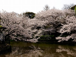 Hachimansakura070401