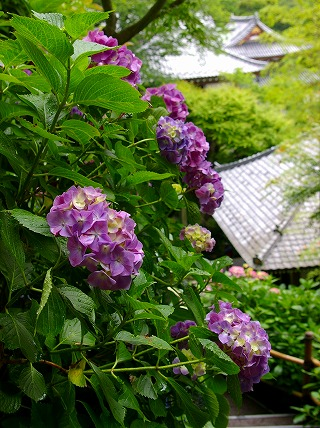 Hasemurasaki070611