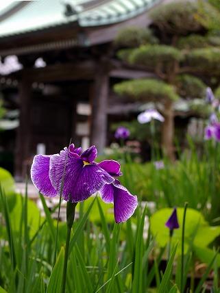 Hasetateshobu070611