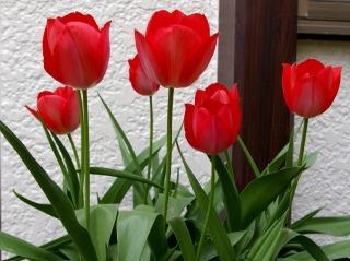 Tulip070409